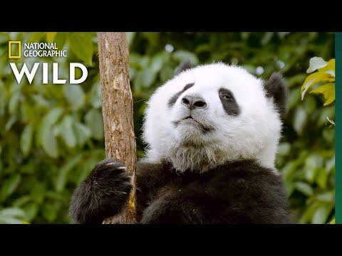 Bears 101 | Nat Geo Wild