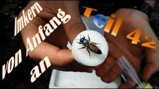 Imkern von Anfang an - Teil 42 - Bienenkönigin markieren mit Plättchen auch für Anfänger