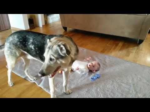 Catahoula And Baby Talking And Howling