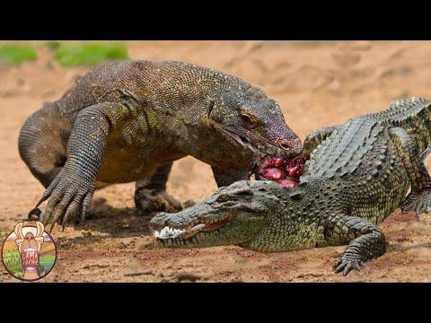Regardez Ces Séquences Rares de Crocodiles Qui S'Attaquent Aux Mauvais Adversaires