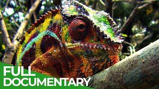 Wildlife Instincts: Chameleons - Designed to Hunt   Free Documentary Nature