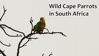 Wild Cape Parrots in South Africa
