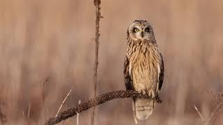 Short-eared Owl Barking 12-31-2020