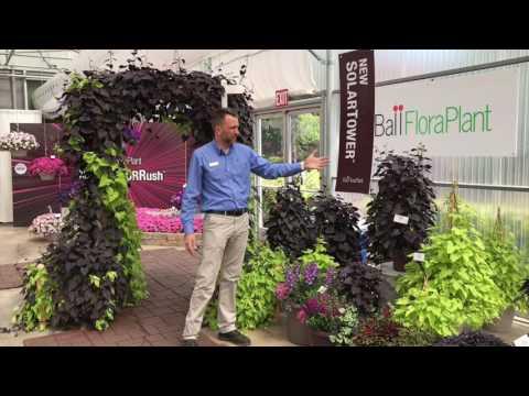 Ipomoea SolarTower from Ball FloraPlant thumbnail