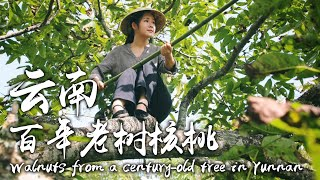 Video : China : Walnuts 核桃 (HéTáo) - gathering and preparing