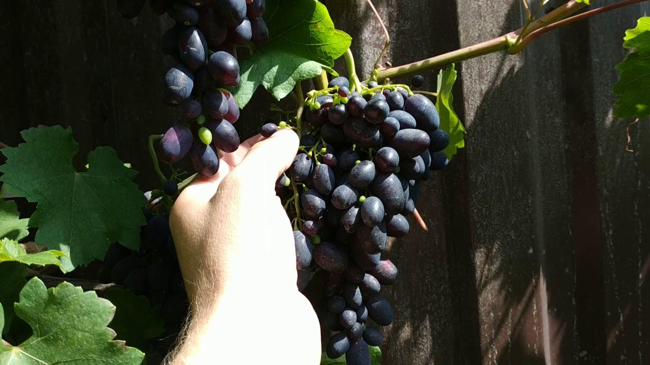 Кодрянка, ранний столовый сорт винограда