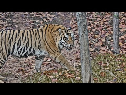 India 2015: Bandhavgarh National Park (P