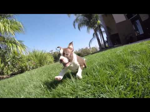Fenway is our adorable AKC Red Boston Terrier Male Puppy For Sale