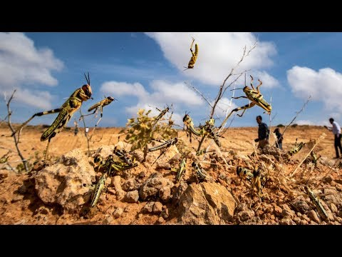 UN Warns of Mass Starvation, 'Biblical' Locust Plague Puts Millions On Brink of Famine