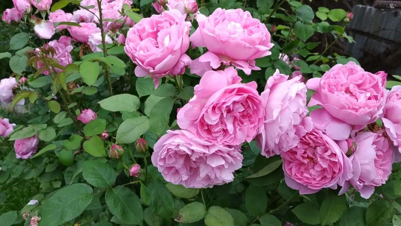 """Английская роза """" Мери Роуз"""".Ее плюсы и минусы.????????????????????"""
