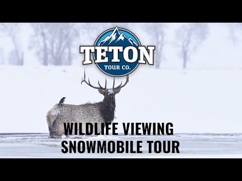 Jackson Hole Wildlife Viewing Snowmobiling Tours