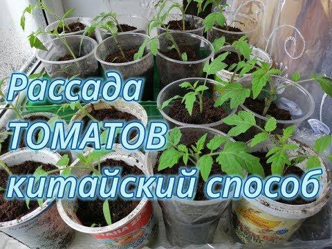 Не пикируйте свои  томаты не посмотрев результаты пикировки китайским способом