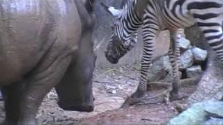 Приставучая зебра