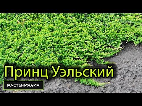 Можжевельник принц Уэльский посадка и уход / Ботанический сад, Харьков