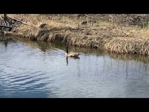 , title : 'Wildlife in Our Backyard - Canadian Geese