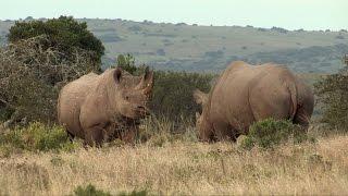 RHINOCEROS NOIR DE NAMIBIE : LEUR DERNIER REFUGE SAUVAGE