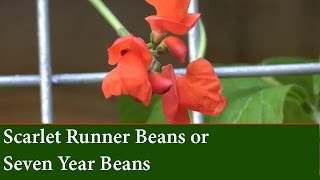 How to Grow Scarlet Runner Beans - Seven Year Beans