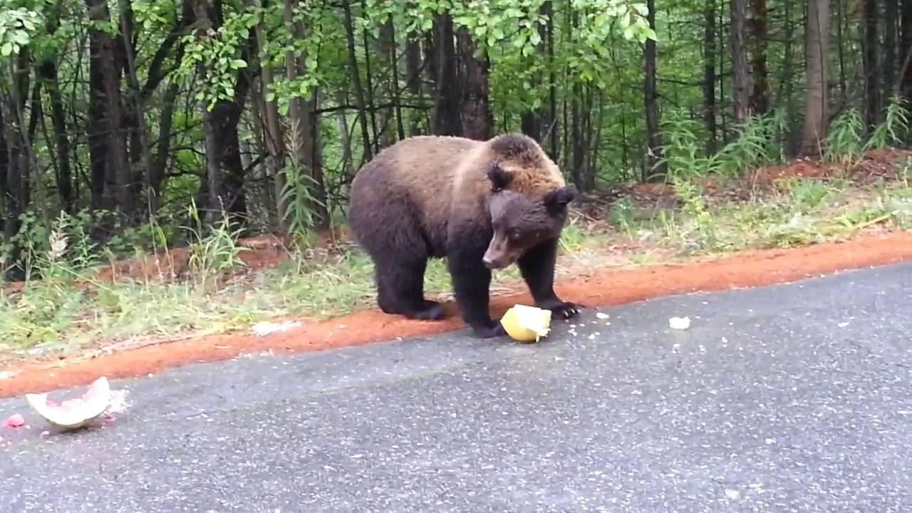 В Северобайкальске дикий медведь вышел на дорогу