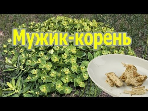 Растение мужик-корень (молочай палласа, фишера) лечебные свойства, применение настойки, польза.