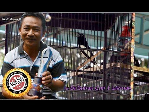 Video HOBBY BURUNG : Perawatan Mabung Burung Kacer Jawara Ala Mr Gino Jogja