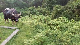 preview picture of video 'A big bison of the chapramari  Forest rail gate. চাপ্রামারি ফরেস্ট রেল গেট এর বিরাট একটি বাইসন।'