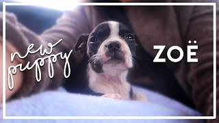 I FINALLY GOT A PUPPY | Meet Zoë The Boston Terrier ♡