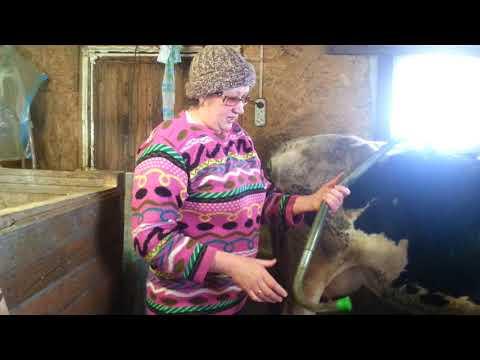 Как подоить корову которая брыкается, антибрык и другие приспособления