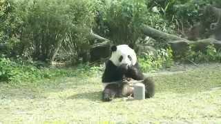 20150105-彪哥送來圓仔最愛的筍筍The Giant Panda Yuan Zai
