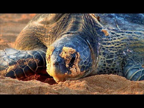 Green Sea Turtles Get a Second Chance