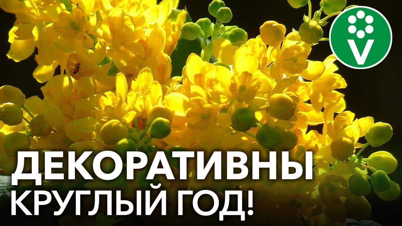 ВЕЧНОЗЕЛЕНЫЕ ЛИСТВЕННЫЕ КУСТАРНИКИ, которые украшают сад круглый год!
