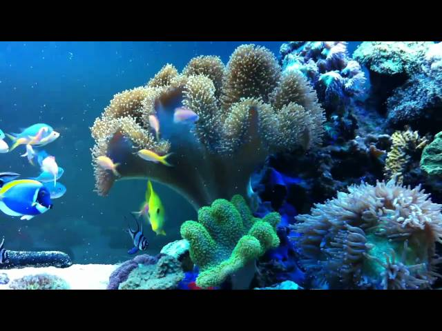 Leather Coral Spawning in 8 ft Reef Tank