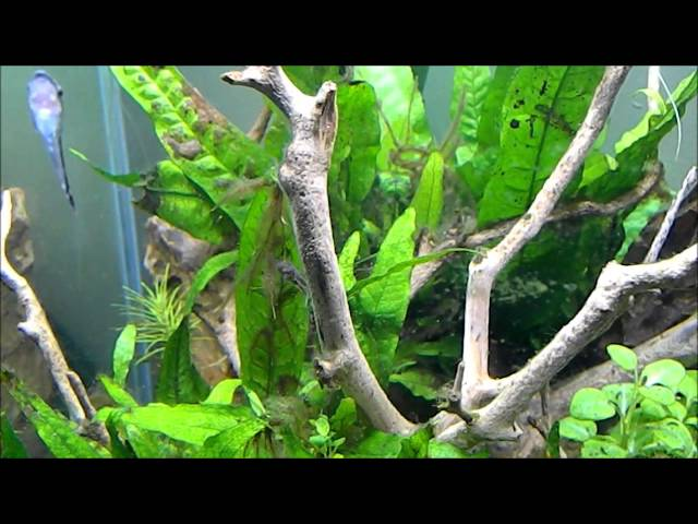 Fish Tank Talk - Pea Puffers