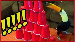 Toucan vs. GIANT STACK OF CUPS!!!! (part 1)