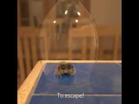 Lucas the spider been captured