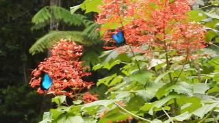The Ulysses butterflies love fluttering up and down the valley over our stream. They flutter past the veranda and stop to admire anything red - their favourite colour. We have lots of red flowering plants at Daintree Secrets!