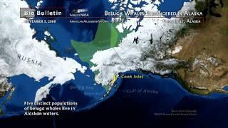 Science Bulletins:Beluga Whales Endangered in Alaska