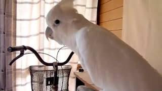 ソロモンオウムたろちゃん ママが来るとお喋り全開 ✨ Cockatoo Talks Full Throttle When Mama Comes