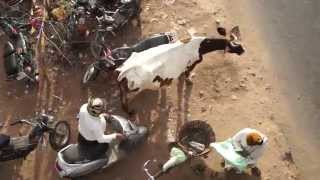 Video How To Treat A Holy Cow, In India!