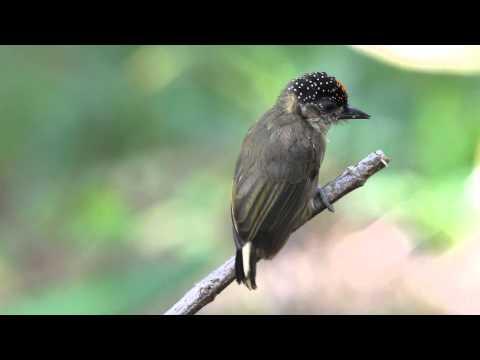 Picumnus olivaceus