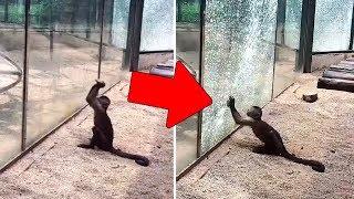 Обезьяны в Зоопарке Точат Камни, Чтобы Разбить Стекло и Сбежать