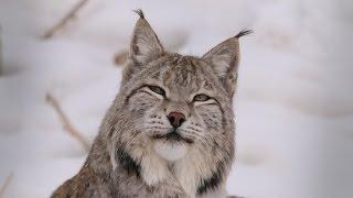 Lynx - Kyrgyzstan