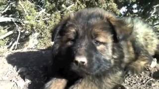 German Shepherd Puppy Long Hair
