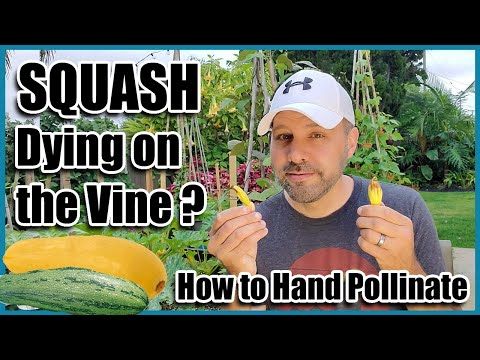 , title : 'Squash Dying on the Vine? How to Hand Pollinate Squash, Pumpkins, Zucchini and Cucumbers