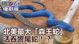 【關鍵復刻版】 北美最大「森王蛇」活吞響尾蛇!? 20150901全集 關鍵時刻|劉寶傑