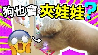 "Exaggerated dog demonstration ""clip doll""! ! MUFFIN so smart ... (Chinese subtitles)"