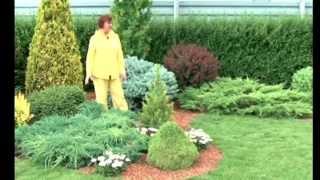 Хвойные растения на участке видео