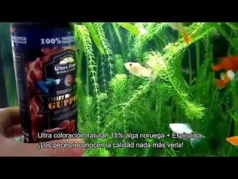 Helminthosporium turcium