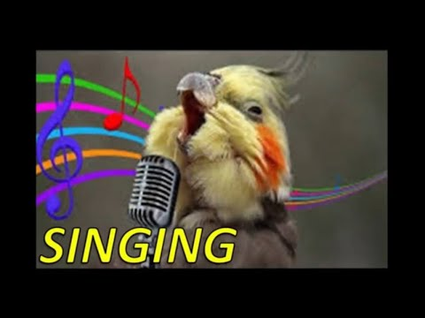 Male Female Cockatiel Sounds Mating Whistling Singing Talking