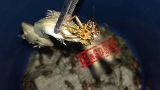 This is why CRICKETS should NEVER be left with other ANIMALS unsupervised !!!