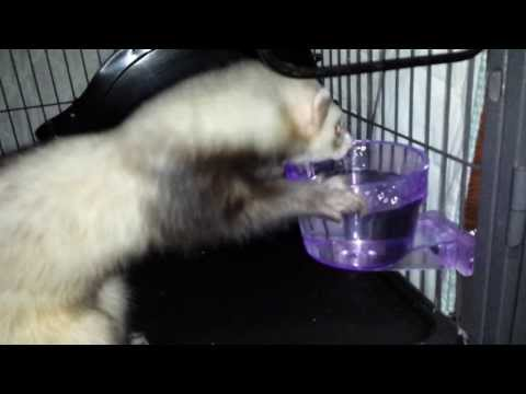 FERRETS REACT TO NEW WATER CROCK
